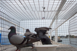 Pigeon Trapping in Los Angeles
