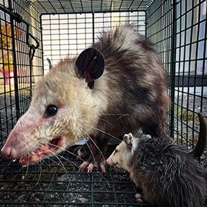 opossum control los angeles
