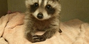 Humane Raccoon Removal Specialist Los Angeles