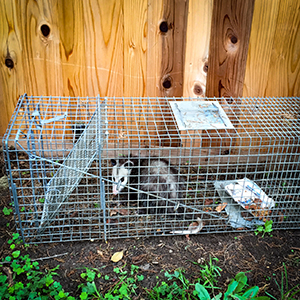 humane Opossum trapping and removal service los angeles