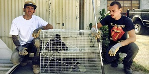 Raccoon Trapping and Removal by Urban Wildlife Trapping