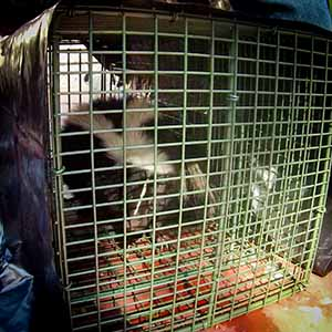 Skunk Trapping & Removal Los Angeles