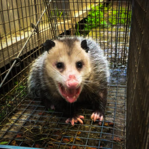 Opossum removal service los angeles