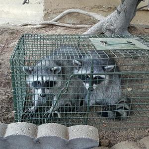 Raccoon Removal In Los Angeles Raccoon Control Wildlife