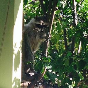 raccoon ecviction fluid