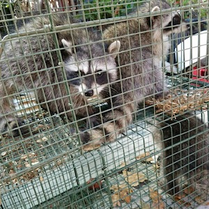 raccoon removal in los angeles