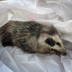 Dead Opossum Removal Los Angeles